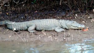 Crocodile In Sanctuary Salim Ali Bird Sanctuary Goa